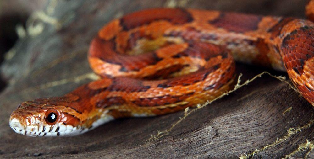 Cabeza de la serpiente del maíz :: Imágenes y fotos