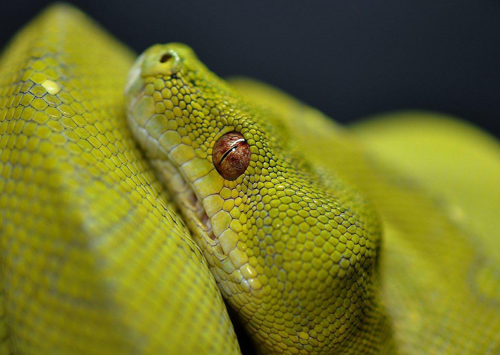 Especie de serpiente Pitón verde :: Imágenes y fotos
