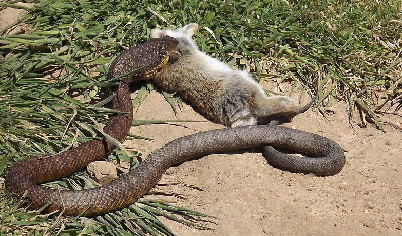 Cómo se alimentan las serpientes?