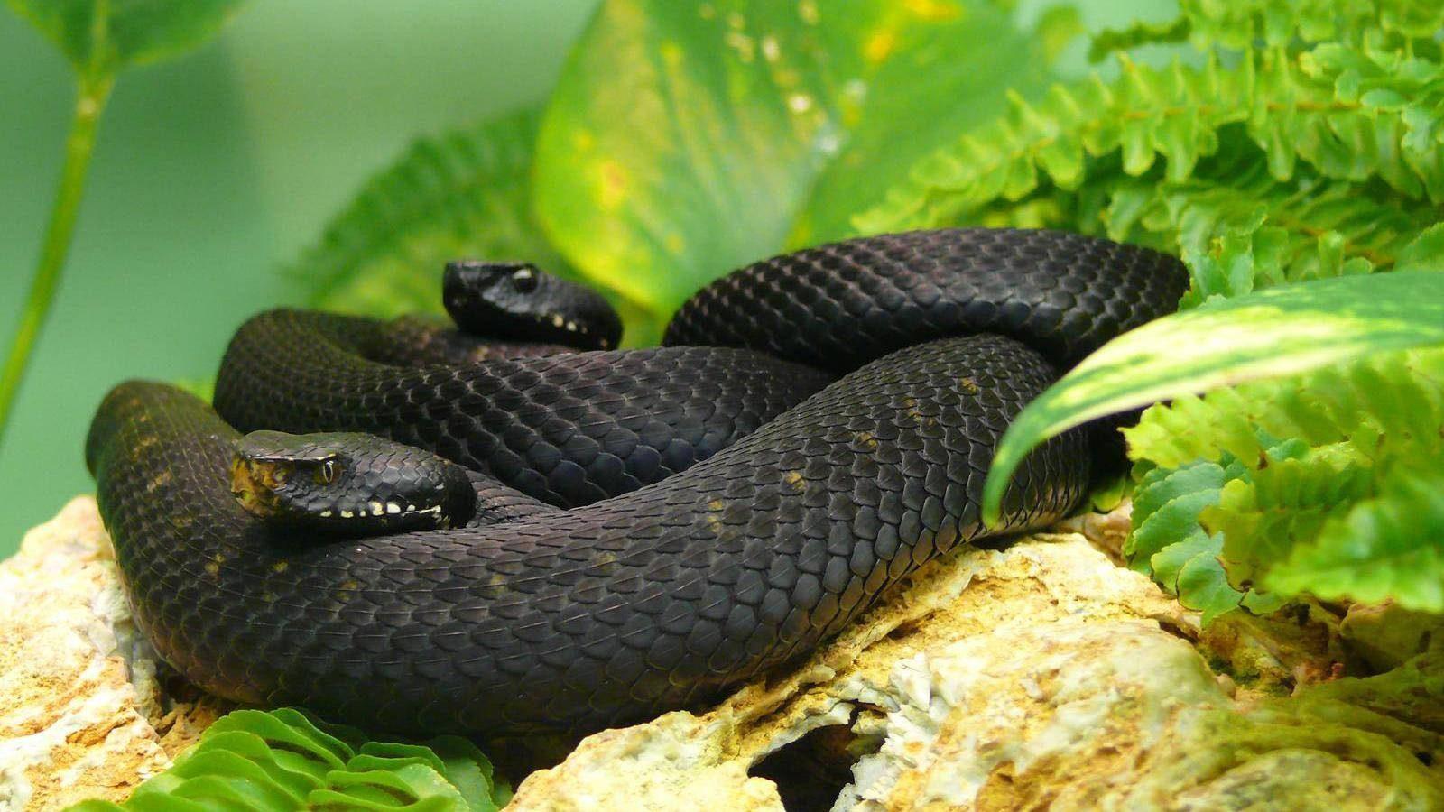 Fotos de la mamba negra :: Imágenes y fotos
