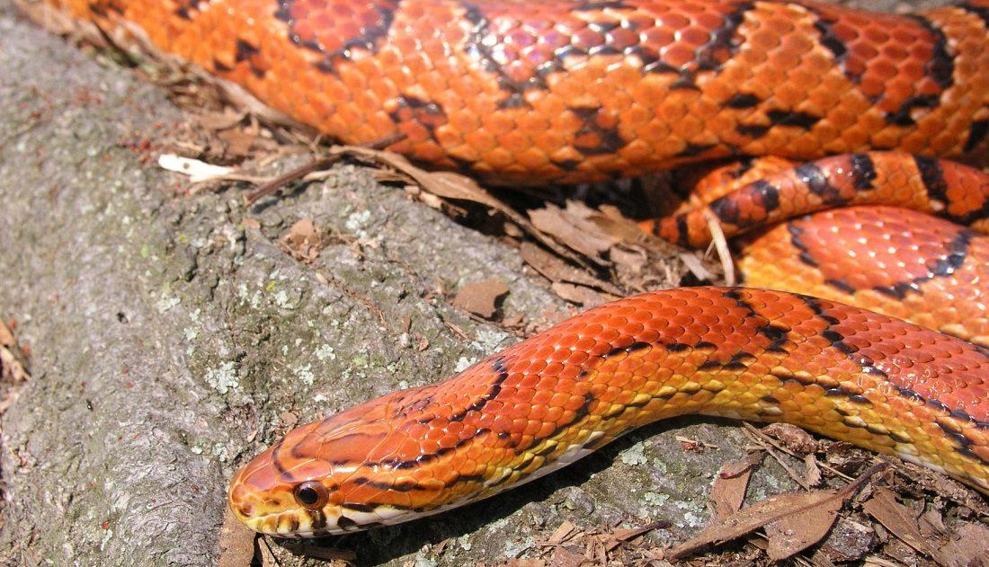 Piel y colores de la serpiente ratonera roja :: Imágenes y fotos