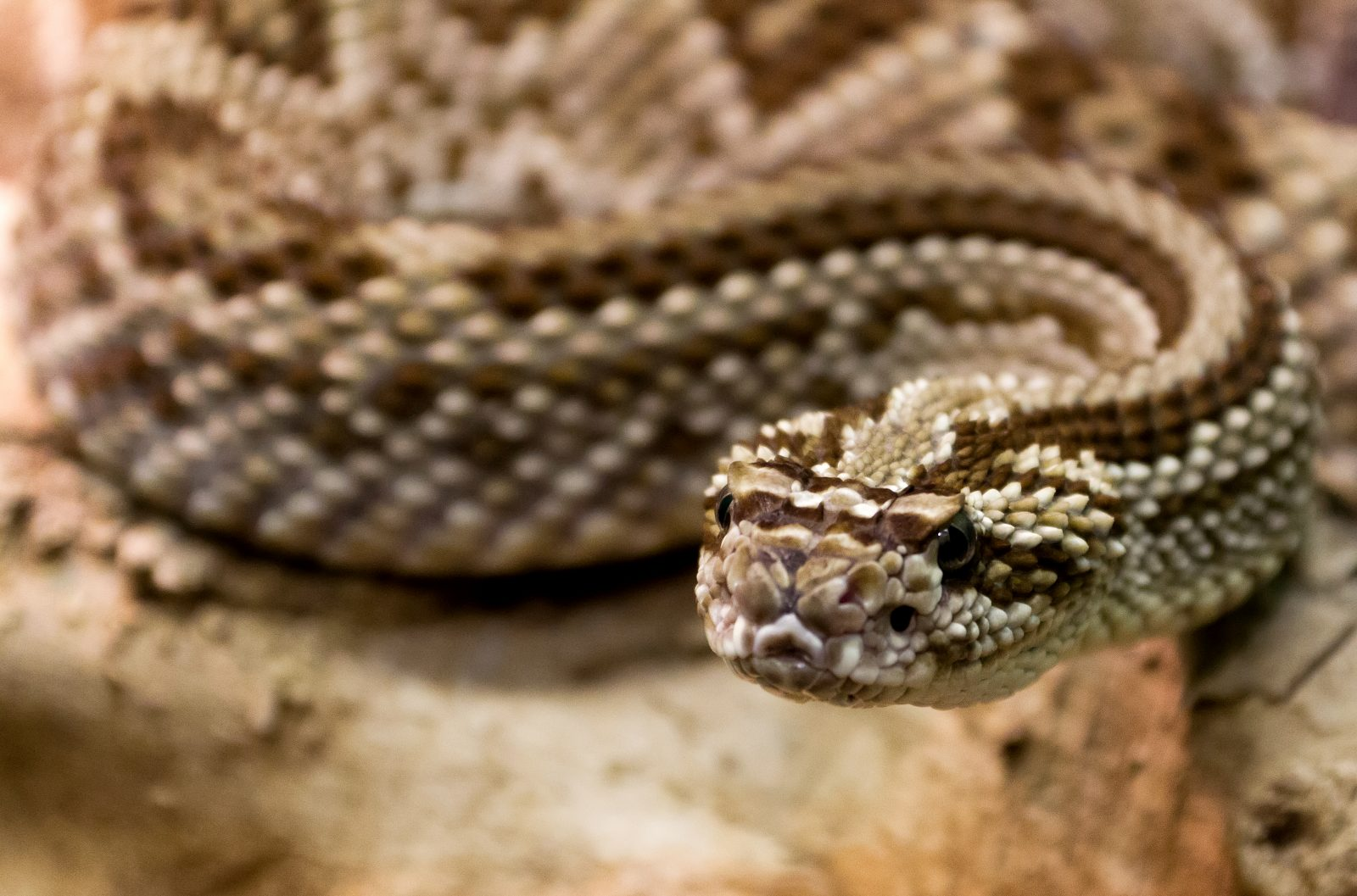 Serpiente diamante de cascabel :: Imágenes y fotos