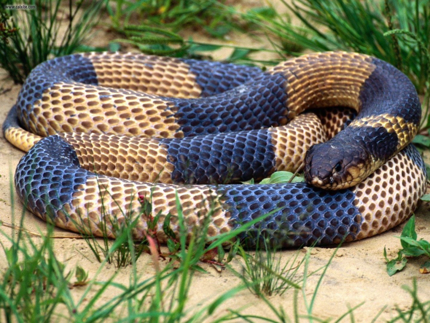 Serpiente king cobra