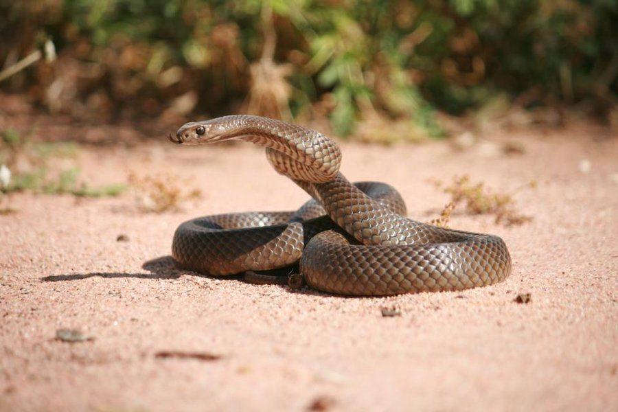 Imagen de la Serpiente marrón oriental