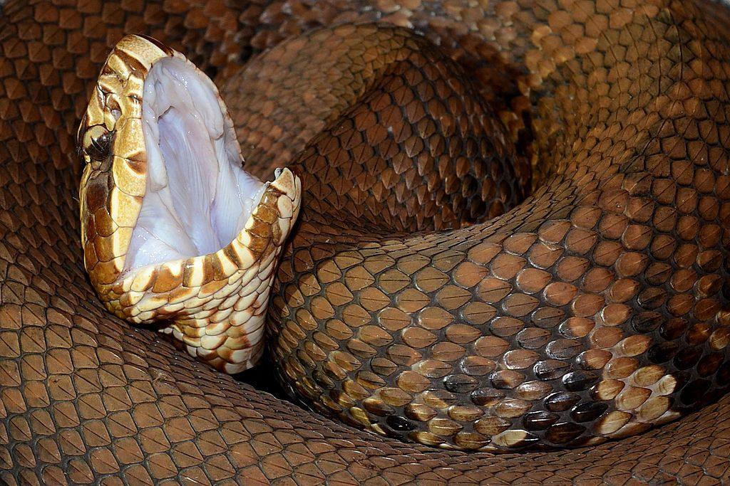 Serpiente mocasín de agua