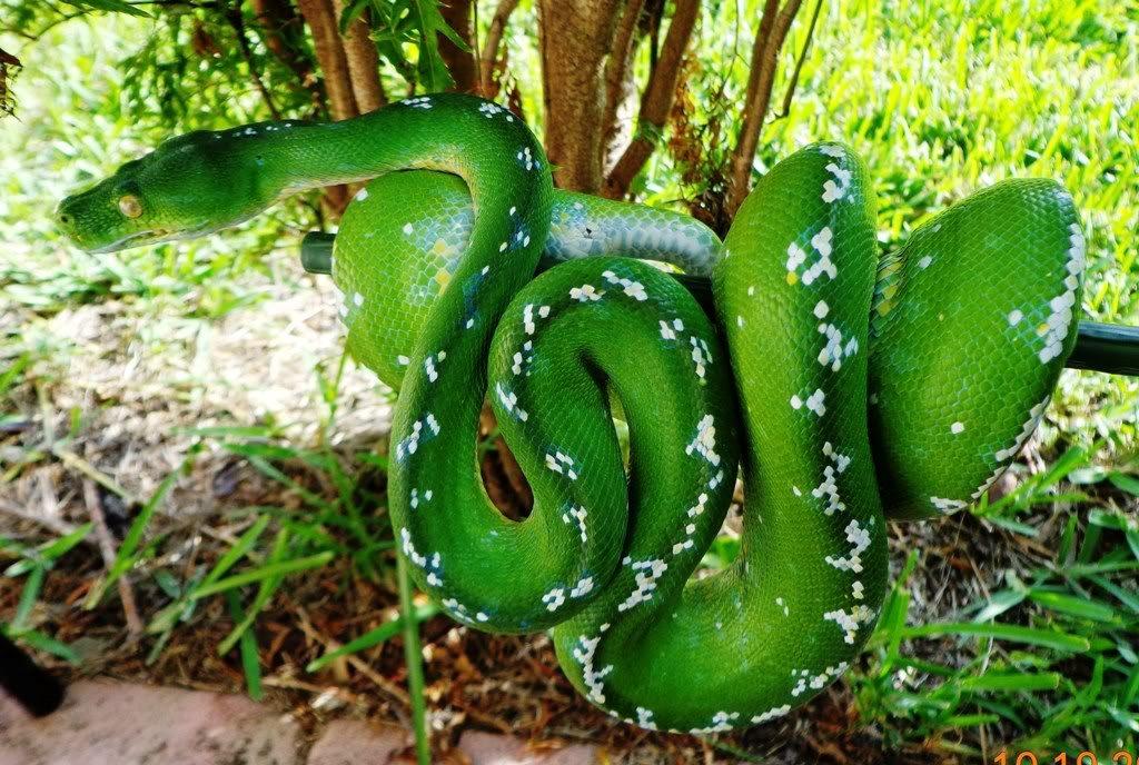 Serpiente Pitón arborícola verde :: Imágenes y fotos