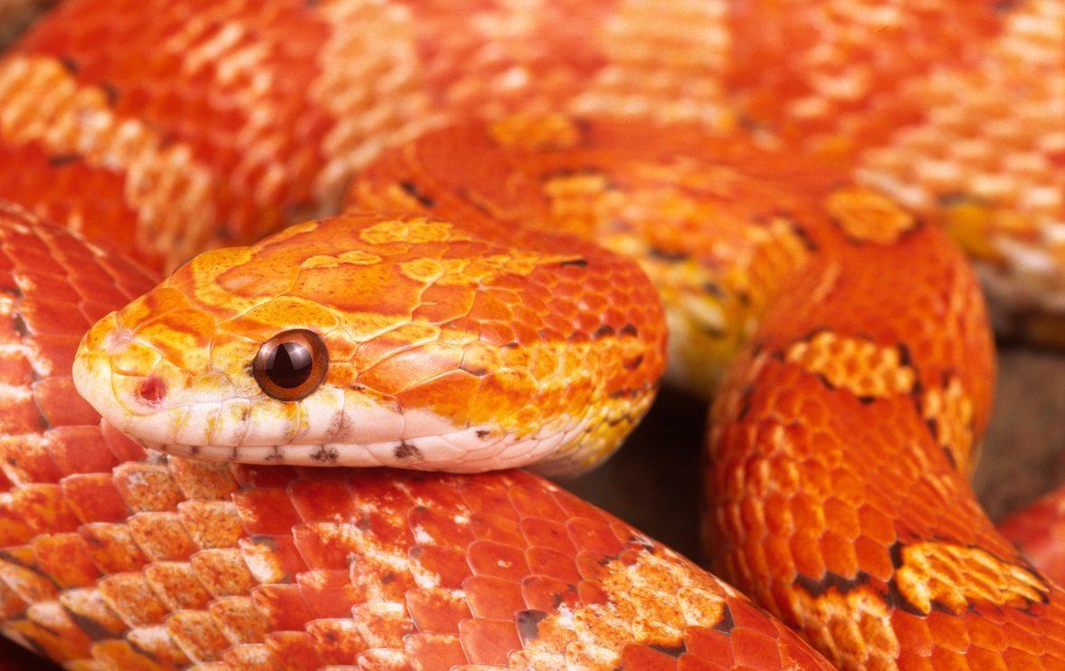 Serpiente ratonera roja