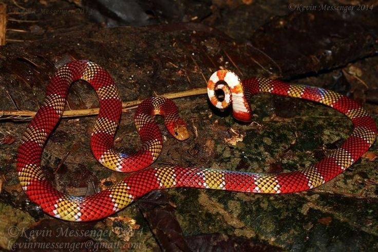 Serpientes coral sudamérica :: Imágenes y fotos